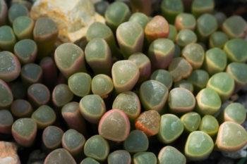 Plantes cailloux : Fenestraria rhopalophylla