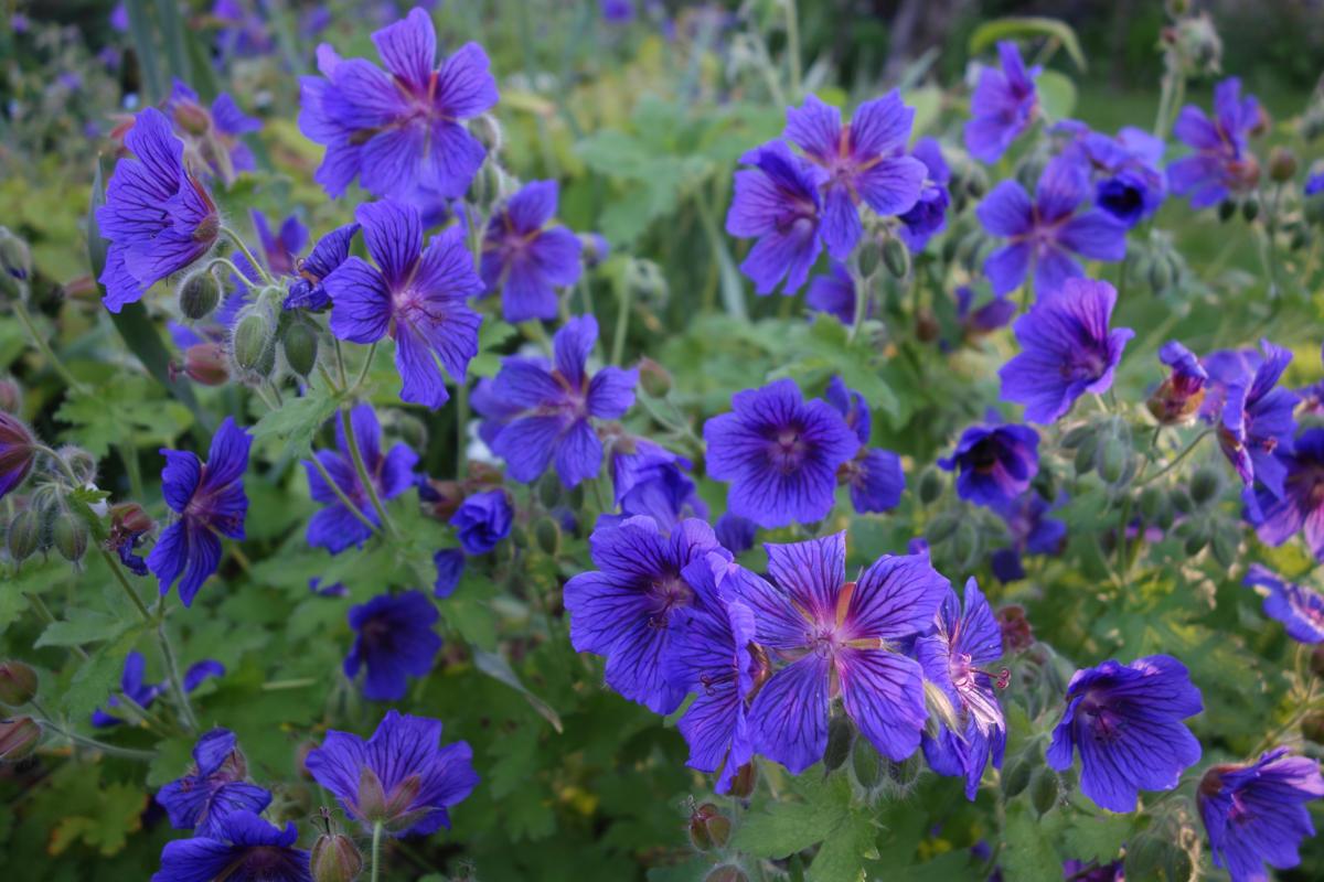 géranium vivace à fleurs bleues