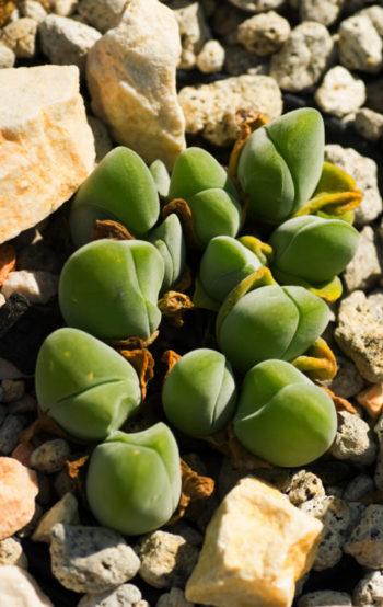 Plantes cailloux : Gibbaeum