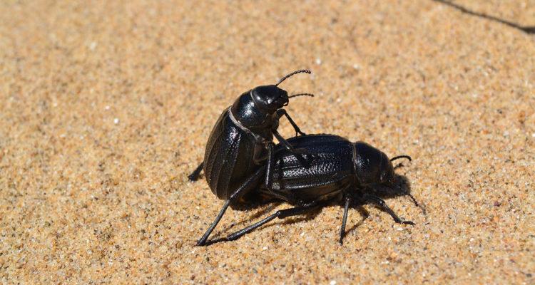 insectes, sexe, copulation