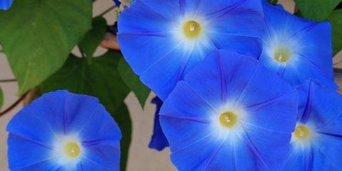 Calendrier lunaire : Ipomée, Ipomoea