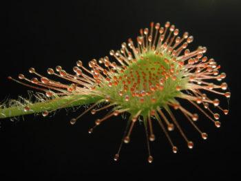 Drosera, plante carnivore à glu