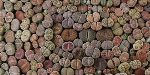 plantes cailloux, cailloux vivants