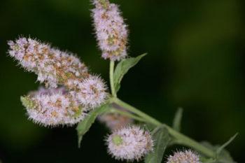 fleurs : menthe buddleia
