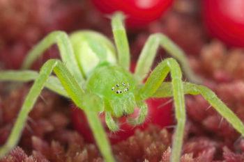 araignées : Micrommata virescens, araignée sauteuse