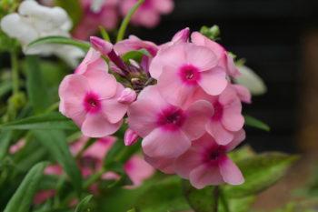 fleurs pour les papillons : Phlox 'Jeff Pink'