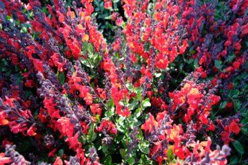 Sauges d'ornement : Salvia microphylla
