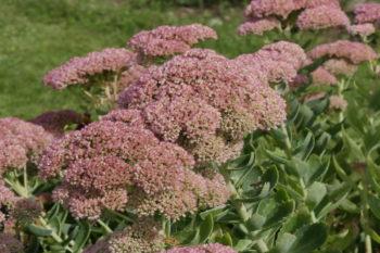 fleurs pour les papillons : Orpin d'automne, Sedum spectabile