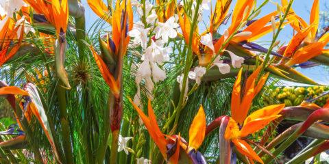 strelitzia - oiseau de paradis - Hortus Focus