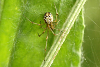 araignées : Theradion sisyphium araignée de jardin