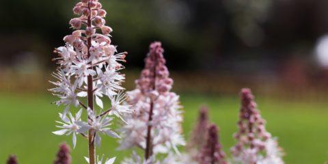 la tiarelle, plante vivace cousine de l'heuchère