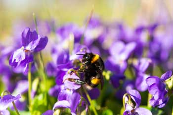 Fleurs comestibles : violette