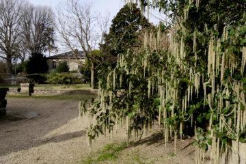 Garrya elliptica, garrya à feuilles elliptiques - hortus focus