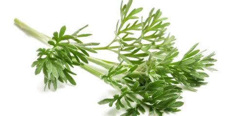 Artemisia absinthium - absinthe - hortus focus