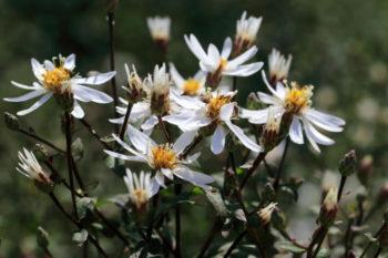 Aster divariqué - Aster divaricatus - Hortus Focus