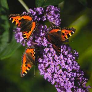 Taille : Arbre à papillons (Buddleja)