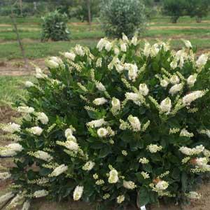 Cléthra (Chletra alternifolia)