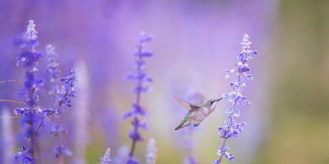colibri sur lavande - hortus focus
