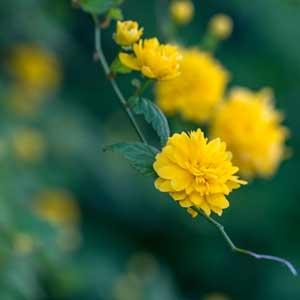 Quand tailler : Corête du Japon (Kerria japonica)