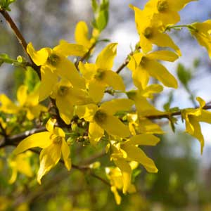 Quand tailler le Forsythia