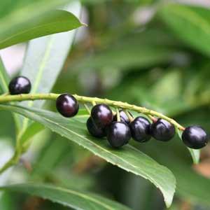 Laurier cerise (Prunus laurocerasus)