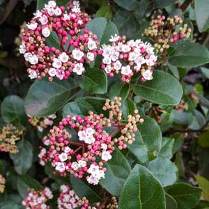 Laurier-tin (Viburnum tinus)