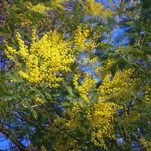 Quand tailler : Mimosa (Acacia dealbata)