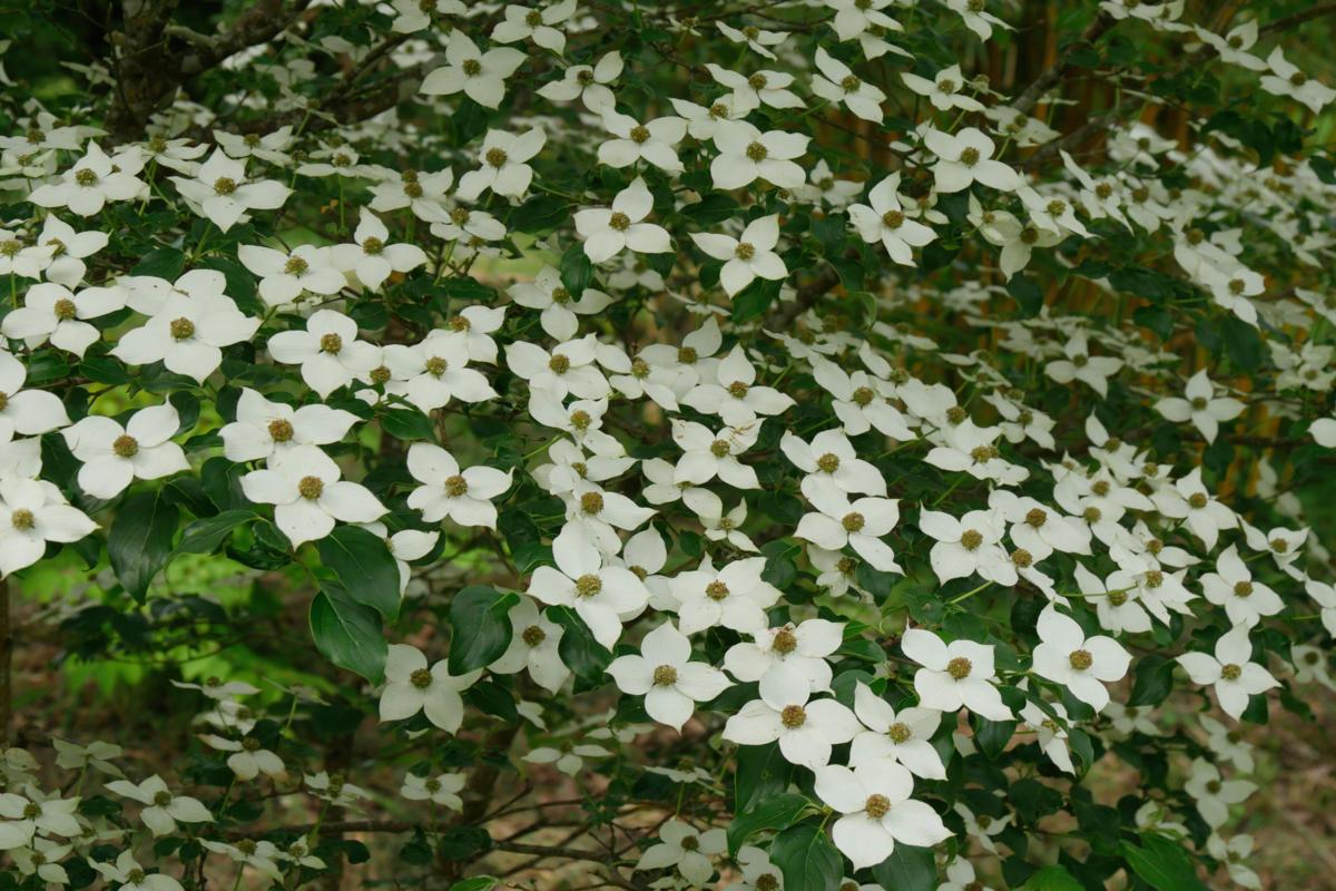 cornouiller à fleurs - hortus focus
