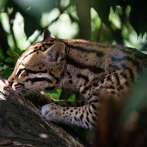 Animaux : margay - Amazonie - hortus focus