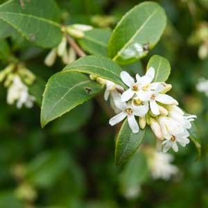 Tailler : Osmanthe (Osmanthus heterophyllus)