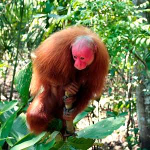 ouakari chauve - amazonie - hortus focus