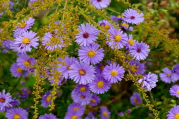 Aster - hortus focus - isabelle morand