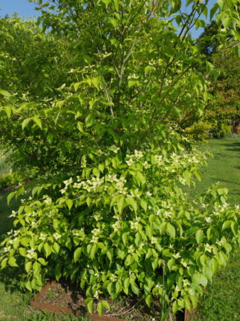 cornouiller à fleurs - le jardin de Marie - hortus focus