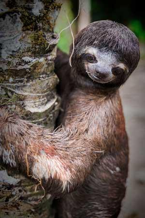 Animaux : Paresseux à gorge brune - Amazonie - Hortus Focus
