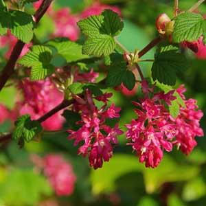 Taille : Groseillier à fleurs (Ribes sanguineum)