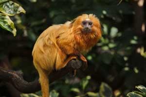 Animaux : Leontopithecus rosalia - tamarin lion doré - hortus focus