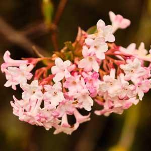 Viornes d'hiver (Viburnum farerri, Var. bodnantense)