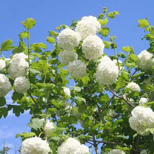 Quand tailler : Boule-de-neige (Viburnum opulus)