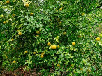 Poncirus trifoliata, citronnier épineux - haie défensive - hortus focus