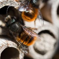 Insectes : abeille solitaire