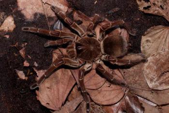 Animaux : Araignée Goliath - Theraphosa - Hortus focus