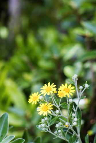 Brachyglottis greyi - Hortus Focus