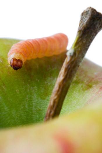 carpocapse - chenille - Cydia pomonella - hortus focus