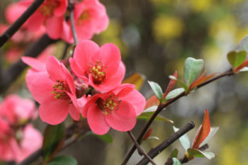 cognassier du Japon - chaenomeles - hortus focus