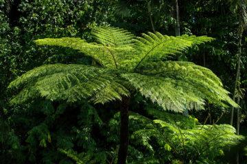 Dicksonia antartica - fougère arborescente - Hortus Focus