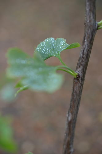 ginkgo - mundi plantarum - hortus focus