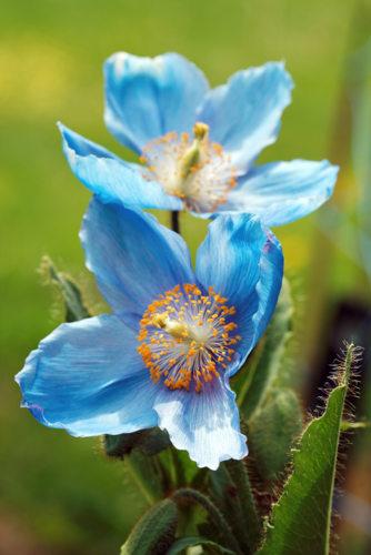 pavot bleu de l'Himalaya - Meconopsis betonicifolia - hortus focus