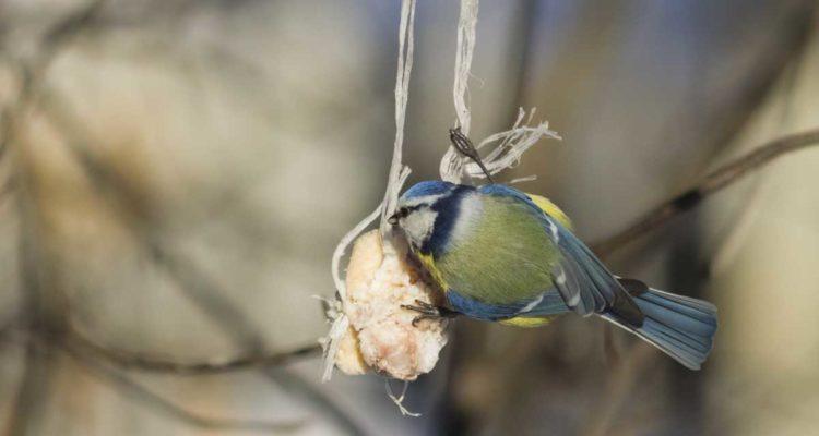 boule de graisse : mésange bleue