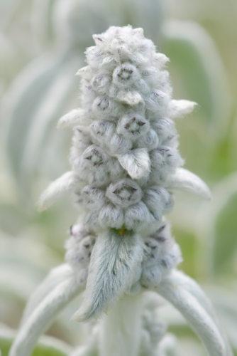 Plantes peluches : oreille d'ours - Stachys byzantina - hortus focus