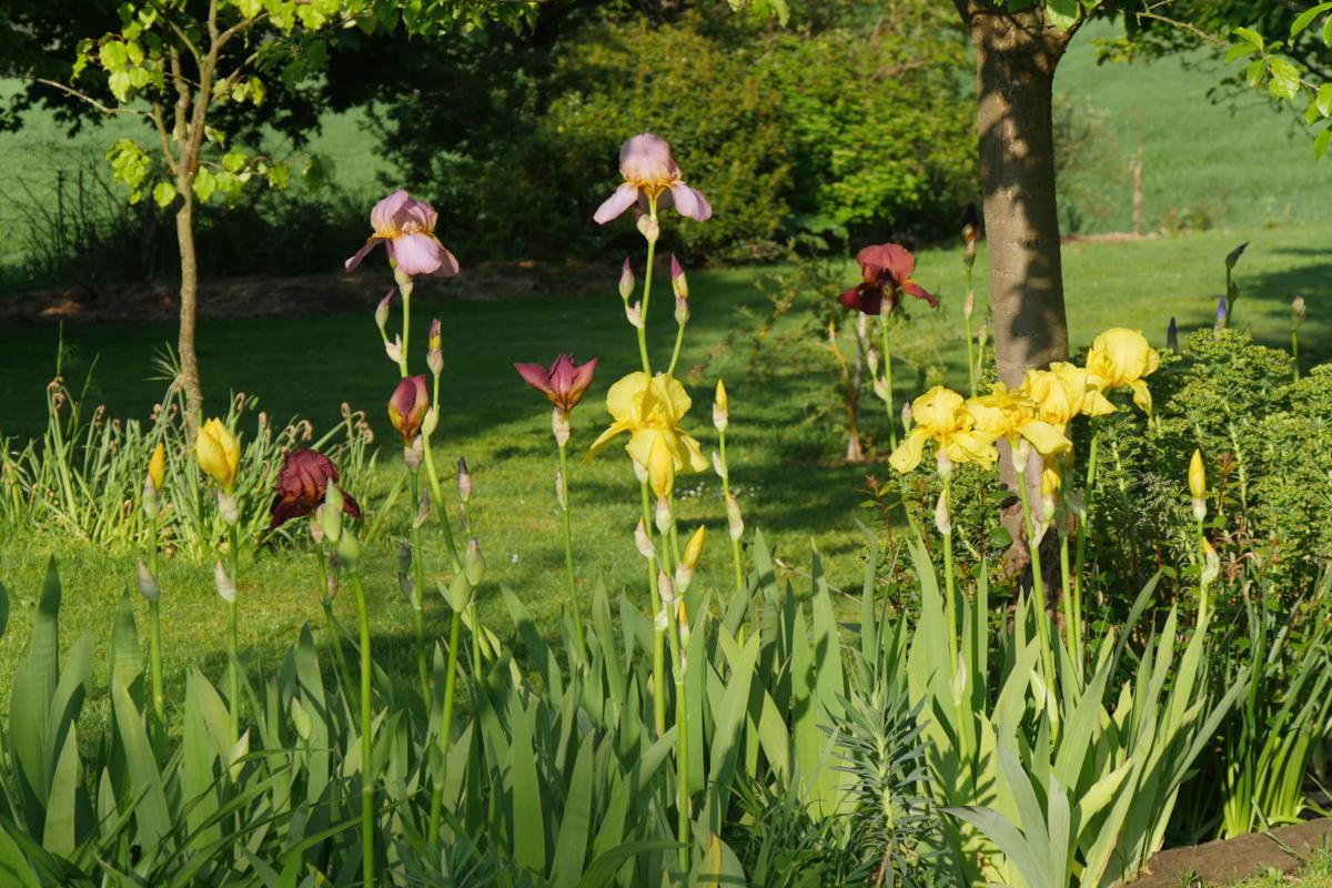 Bordure d'iris - Le jardin de Marie - Hortus Focus